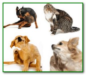 Отравление средством от блох кошек
