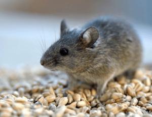 отравление крысиным ядом