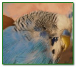 отравление попугая поомщь