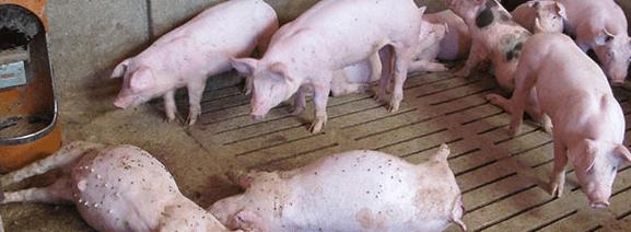 Ядовитые семена растений употребляют в корм свиньи