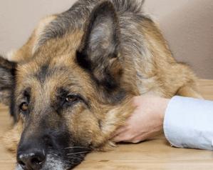 отравление собаки