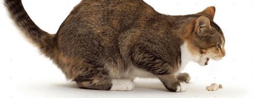 признаки отравления кошки