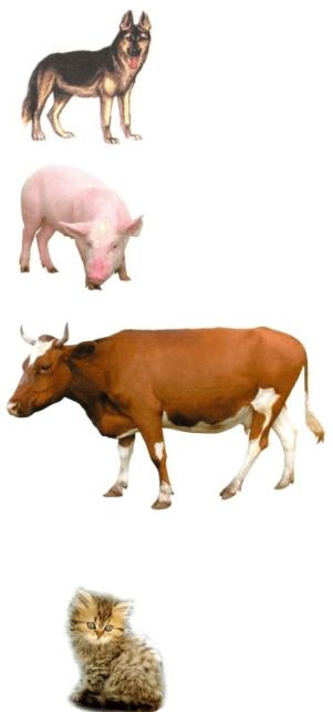Отравление белком у домашних животных
