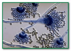 определение афлатоксина