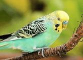 Что делать, если отравился попугай