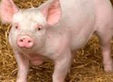 Заболевание поросят и свиней -виды и симптомы