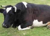 Отравление у коровы: первая симптомы и лечение