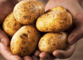 Отравление картофелем человека и животных: первая помощь и лечение