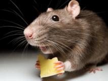 Что делать если укусила мышь ребенка или взрослого