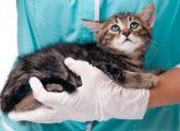 Что делать если кота укусил клещ
