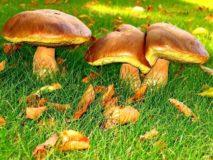 Отравление маслятами — возможно ли?