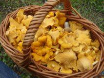 Можно ли отравиться грибами лисичками?