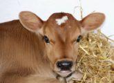 Что делать при поносе у теленка?