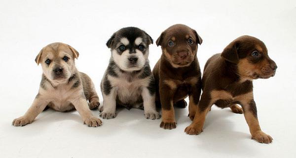 Здоровье щенков