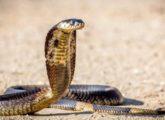 Что делать, если укусила кобра?