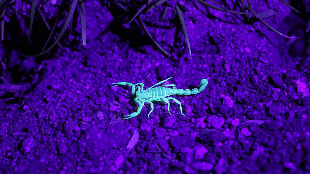 скорпион в ультрафиолете