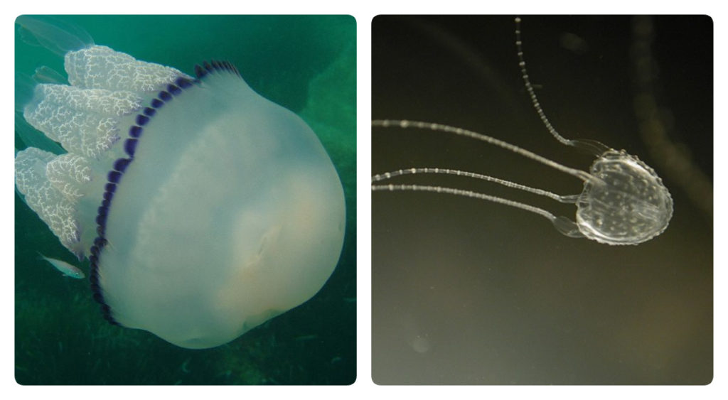 медузы корнерот и ируканджи