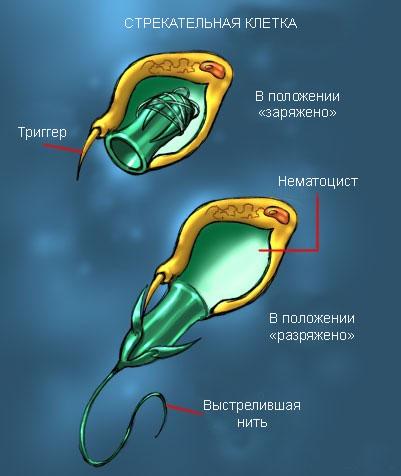 трекательные клетки медузы