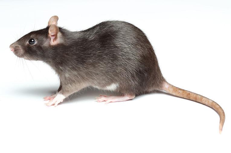 Может ли крыса напасть на человека — чем опасны укусы крысы. Что делать если укусила крыса