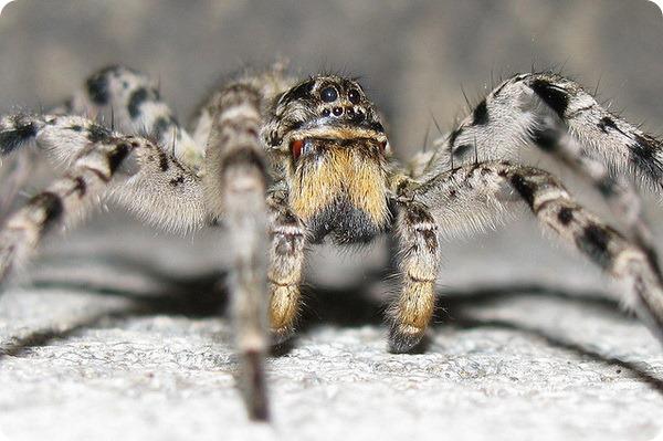жюно-русский тарантул
