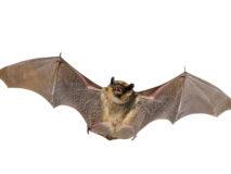 Угроза с воздуха: укус летучей мыши