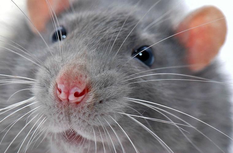укус декоративной крысы