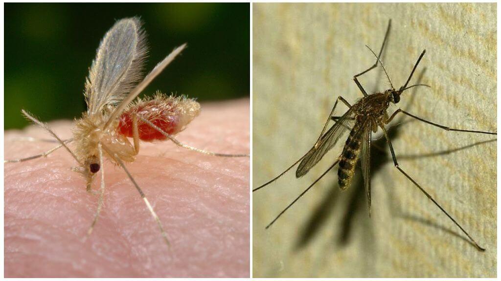 отличие комаров от москитов
