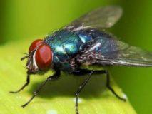 Укусы мух: от нашей жигалки до заморской цеце